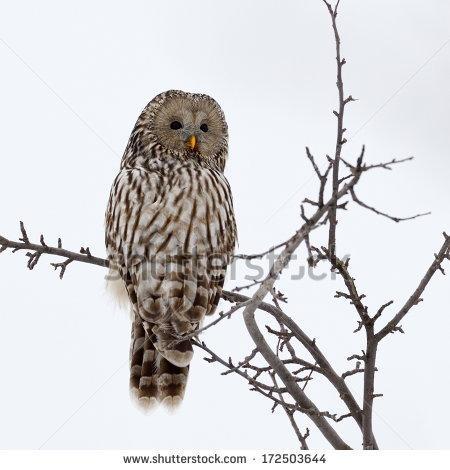 Ural Owl Stock Photos, Royalty.