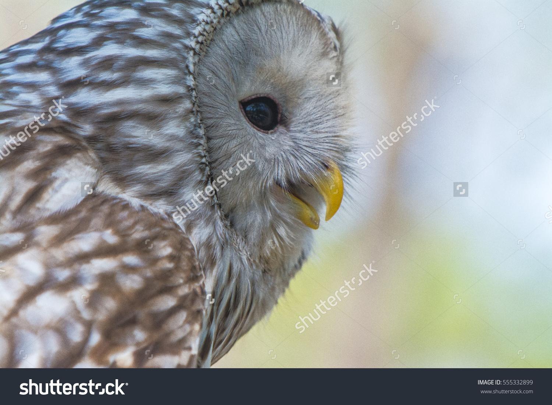 Ural Owl Stock Photo 555332899.