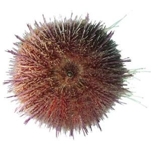 Sea urchin.