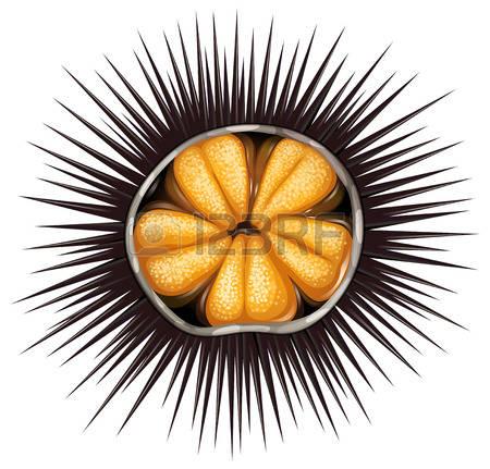644 Sea Urchin Cliparts, Stock Vector And Royalty Free Sea Urchin.