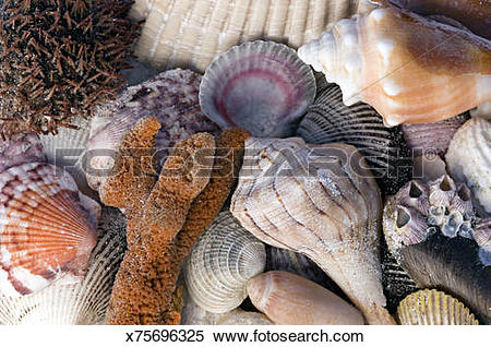 Stock Image of Sea Urchin, sponge, barnacles, scallops (a bivalve.