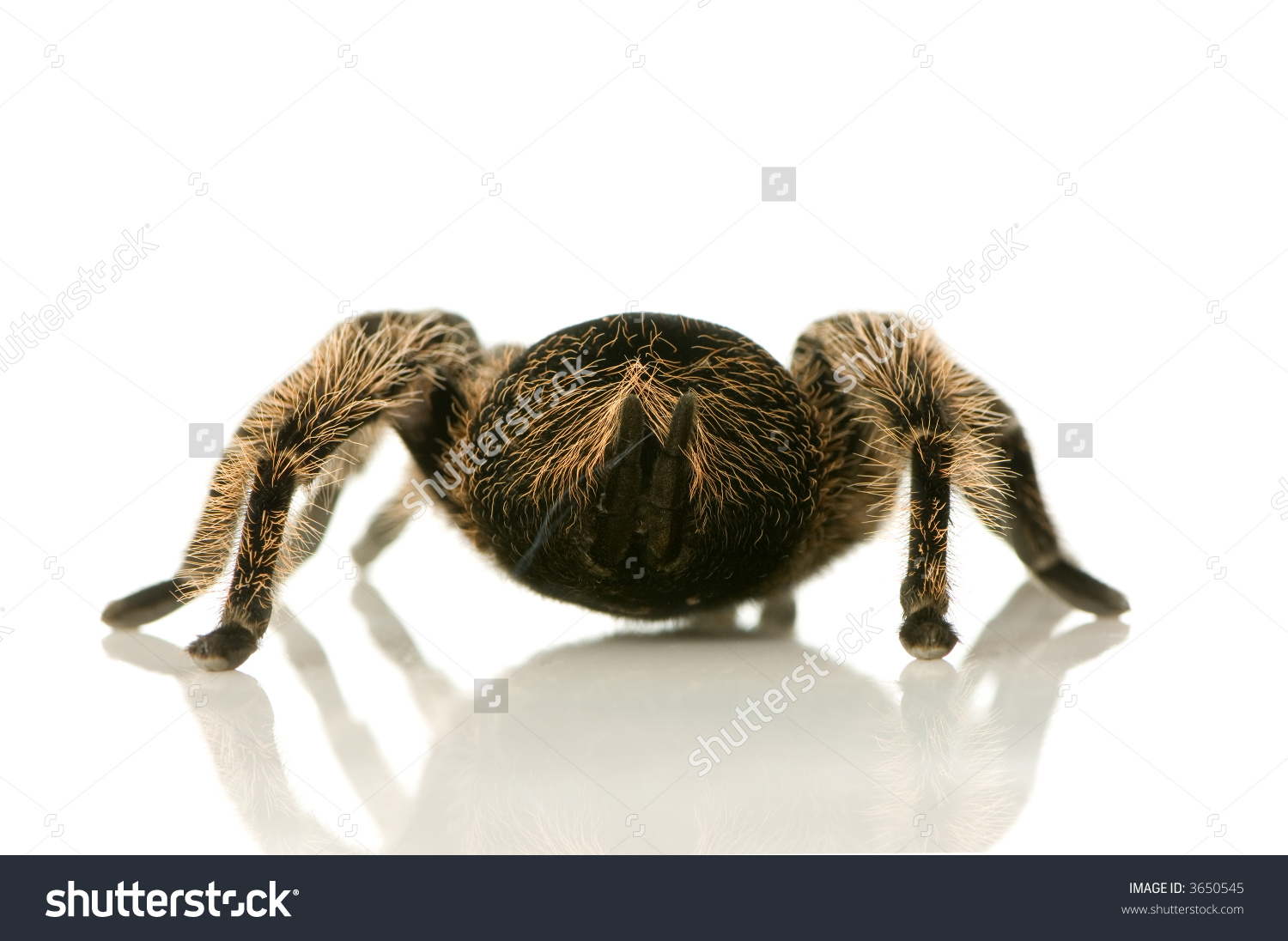 Back Of Zebra Tarantula In Front Of A White Backgroung, We Can See.