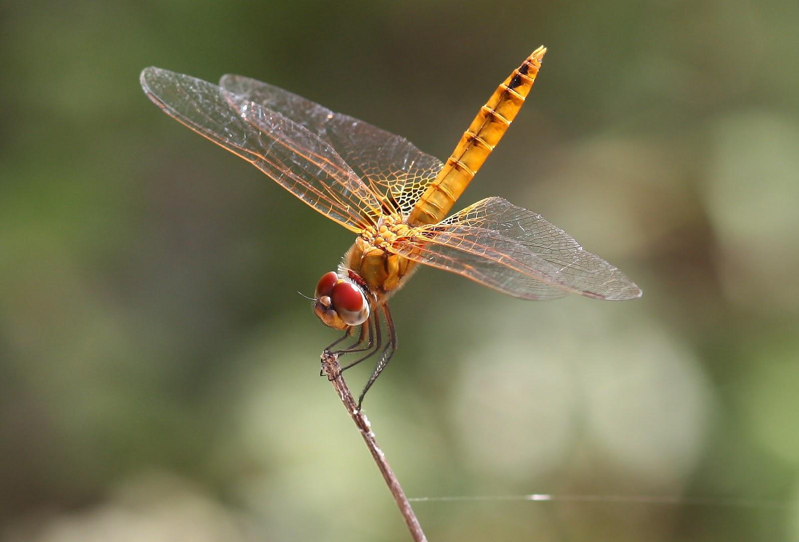 Dragonflies & damselflies of Thailand: 10. Urothemis signata.