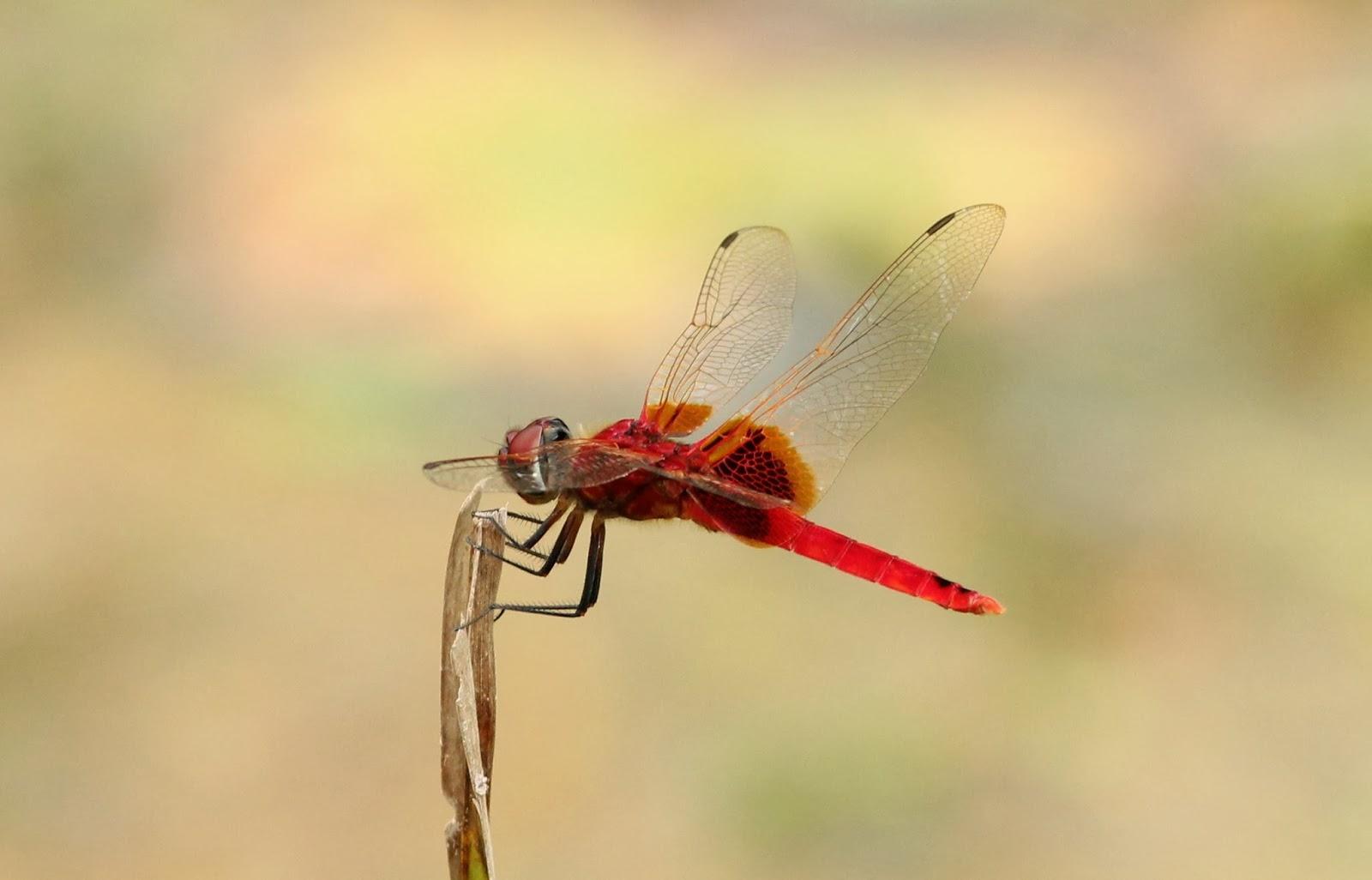 Dragonflies and damselflies of Vietnam: Urothemis signata.