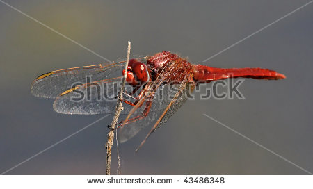 Palaeoptera Stock Photos, Images, & Pictures.