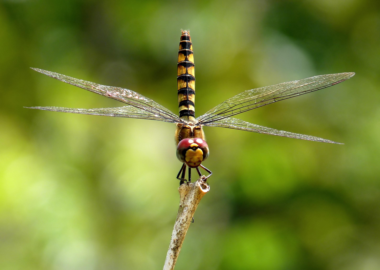 File:Urothemis signata female by kadavoor.jpg.