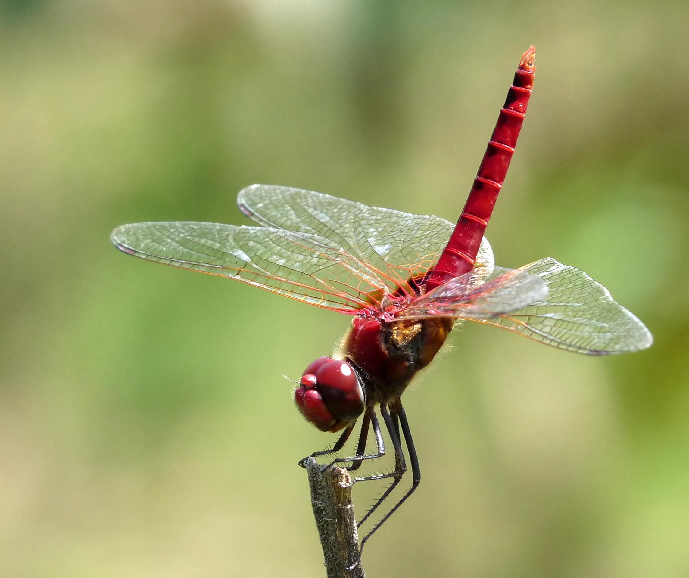 File:Greater Crimson Glider Urothemis signata Male by Kadavoor.jpg.