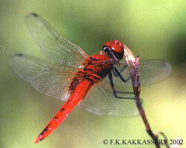 RED DRAGONFLIES.