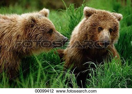 Stock Photo of Juniors, Kodiak, Ursidae, Ursus, Ursus arctos.
