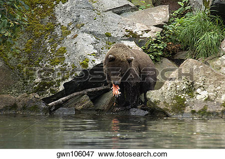 Picture of Grizzly bear (Ursus arctos horribilis) eating a salmon.
