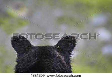 Stock Photograph of the back of a grizzly bear (ursus arctos.