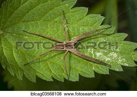 "Pictures of ""Nursery web spider species (Pisaura mirabilis) on."