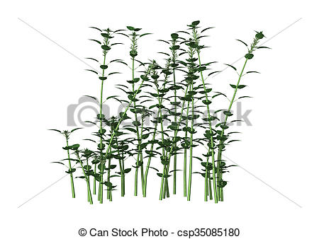 Stock Illustration of Urtica Dioica or Nettle on White.