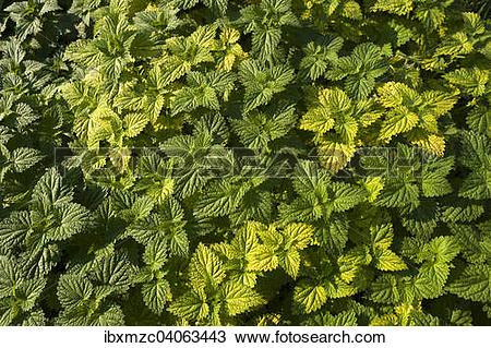 Stock Photo of Comon Nettle (Urtica dioica) ibxmzc04063443.