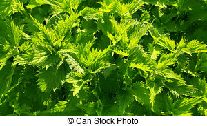 Stock Photography of Stinging nettle (Urtica dioica) csp11035506.