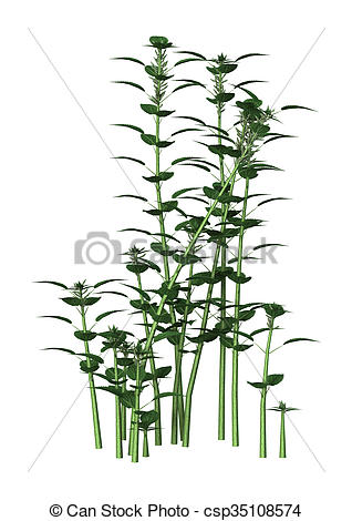 Stock Illustrations of Urtica Dioica or Nettle on White.
