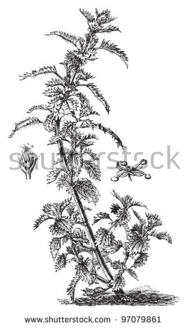 Annual Nettle Urtica Urens Vintage Illustration Stock Vector.