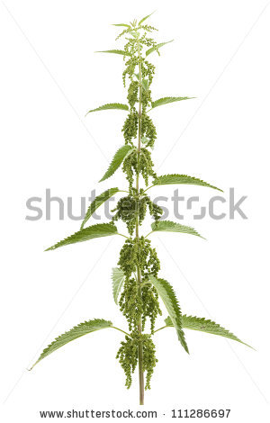 Urtica Urens Stock Images, Royalty.