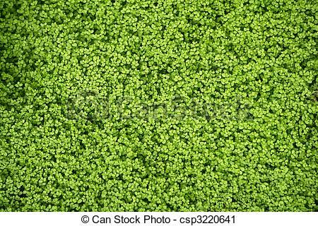 Stock Photography of Angel tears grass plant, Soleirolia.