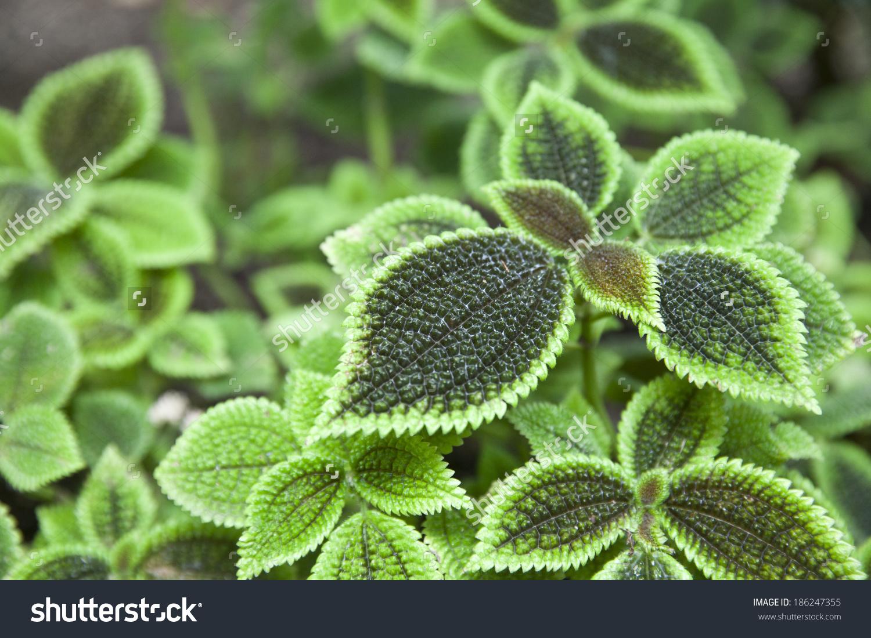 Pilea Mollis Species Flowering Plant Family Stock Photo 186247355.