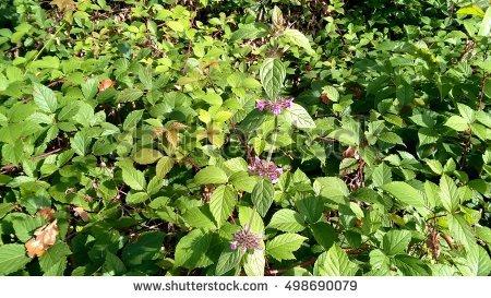 Urticaceae Stock Photos, Royalty.