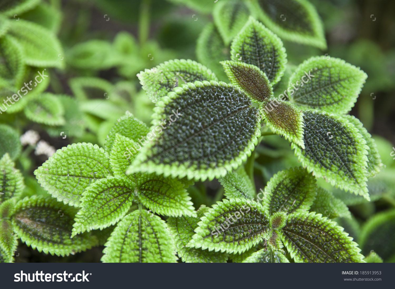 Pilea Mollis Species Flowering Plant Family Stock Photo 185913953.