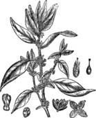 Urticaceae Clip Art.