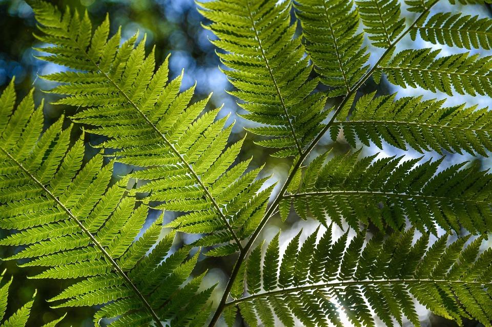 Free photo Urzeitlich Fern Rainforest Victoria.