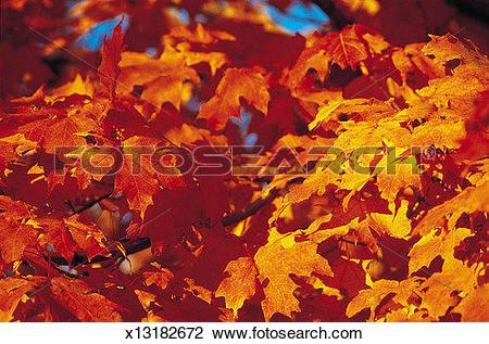 Stock Photo of Autumn Leaves, New England, USA x13182672.