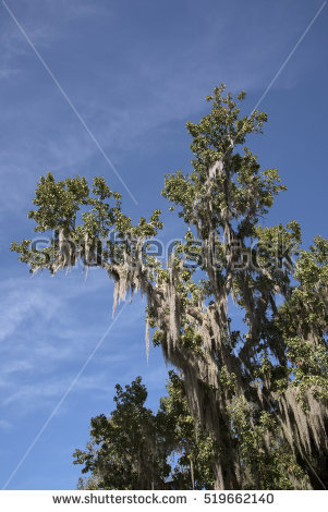 Usneoides Stock Photos, Royalty.