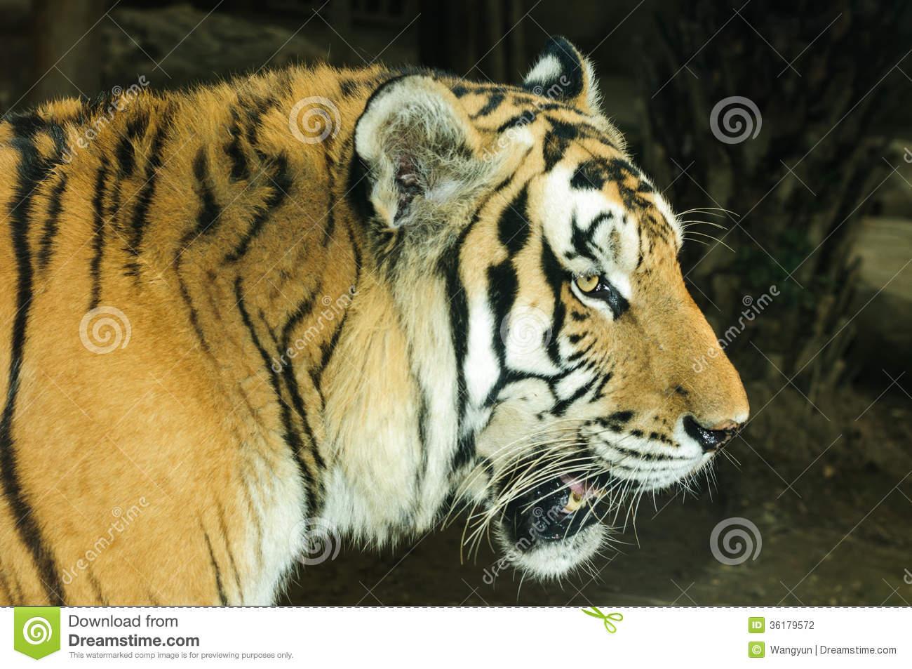 Panthera Tigris Altaica Stock Photography.