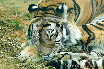 Amur Tiger Looking Camera Stock Photos, Images, & Pictures.
