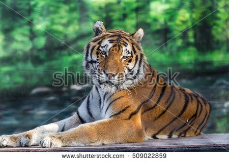 Ussuri Tiger Stock Photos, Royalty.