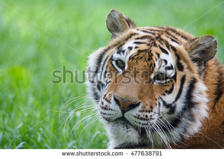 Ussuri Tiger Stock Photos, Royalty.