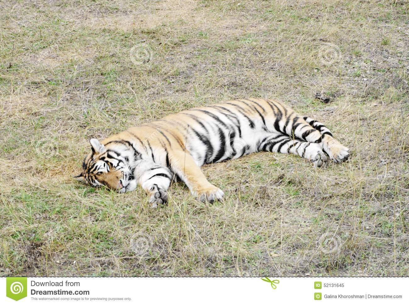 Ussuri Tiger In Aviary, Safari Park Taigan, Crimea. Stock Photo.