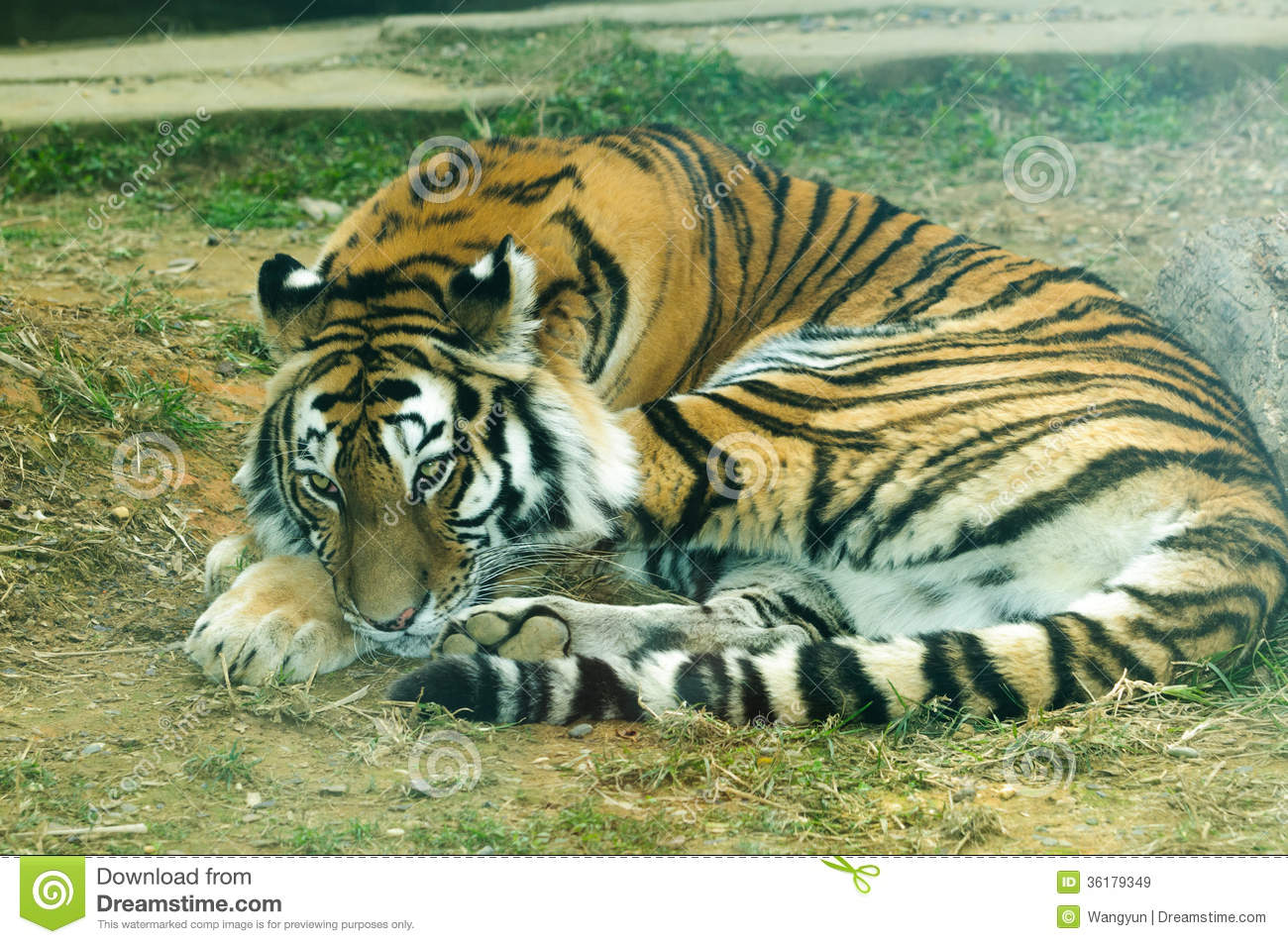 Panthera Tigris Altaica Royalty Free Stock Images.