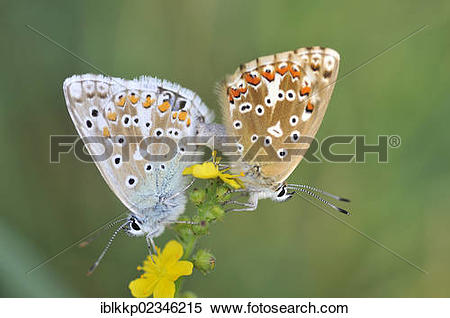"Stock Image of ""Mating Butterflies (Lycaenidae), Rana Mountain."