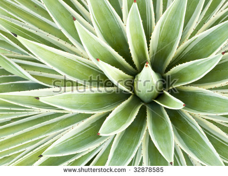 Leaves Variegated Succulent Agave Yucca Plant Stock Photo 34352425.