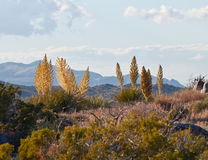 USA, Arizona: Blooming Utah Agave Royalty Free Stock Photos.