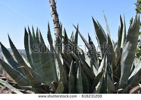 Arizona Agave Stock Images, Royalty.