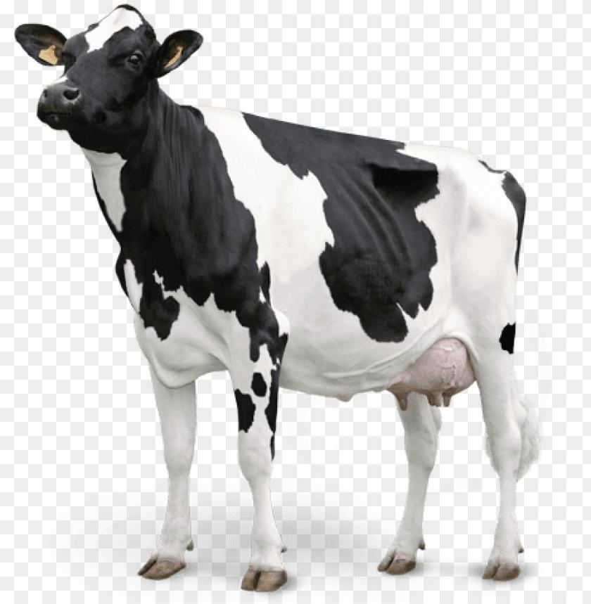 vaca.