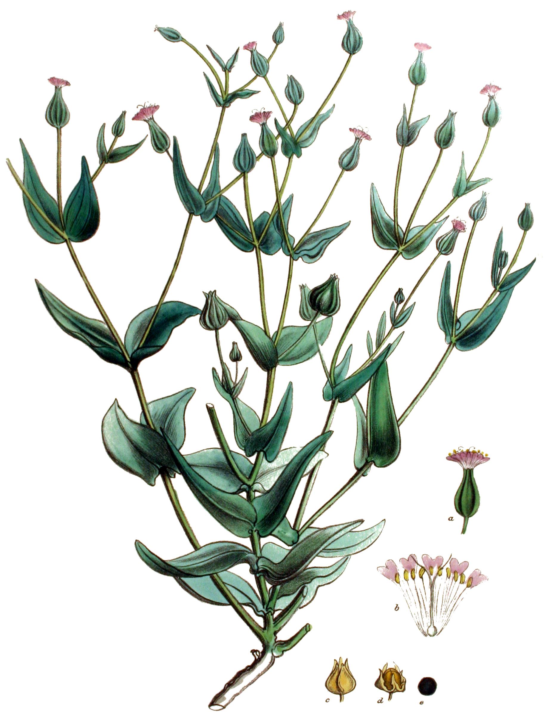 Vaccaria hispanica.