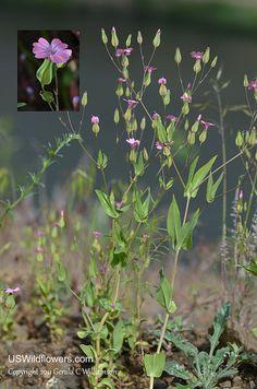 Vaccaria hispanica. Flora von Deutschland Österreich und der.