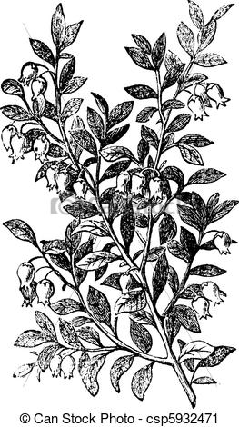 Vector Clip Art of Bilberry, whortleberry or Vaccinium myrtillus.