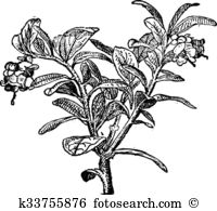 Vaccinium Clip Art and Illustration. 24 vaccinium clipart vector.