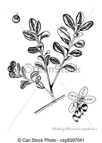Clipart of Blueberry (Vaccinium corymbosum) csp8397041.
