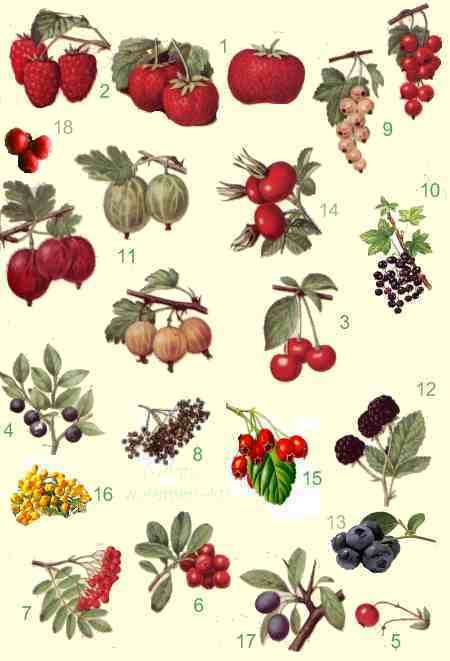 1000+ images about Vaccinium on Pinterest.