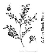 Vaccinium macrocarpon Clipart and Stock Illustrations. 5 Vaccinium.
