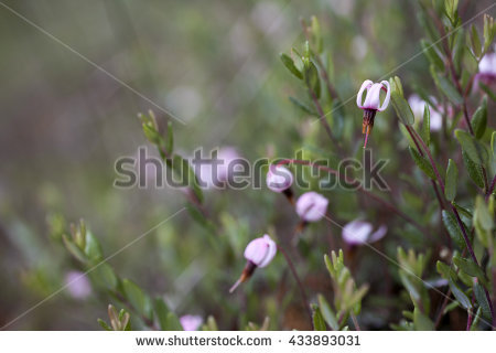 Vaccinium Stock Photos, Royalty.
