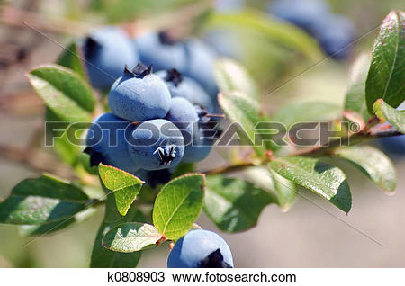 Stock Photo of Wild Blueberries (Vaccinium myrtilloides) k0808903.